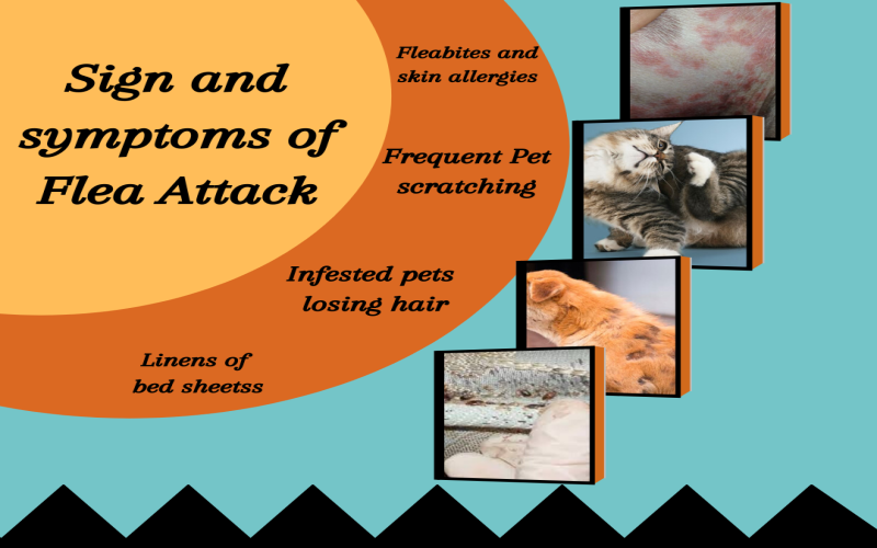 sign and symptoms of flea attack