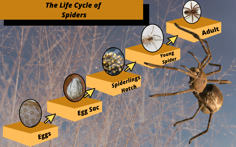 life cycle of spiders