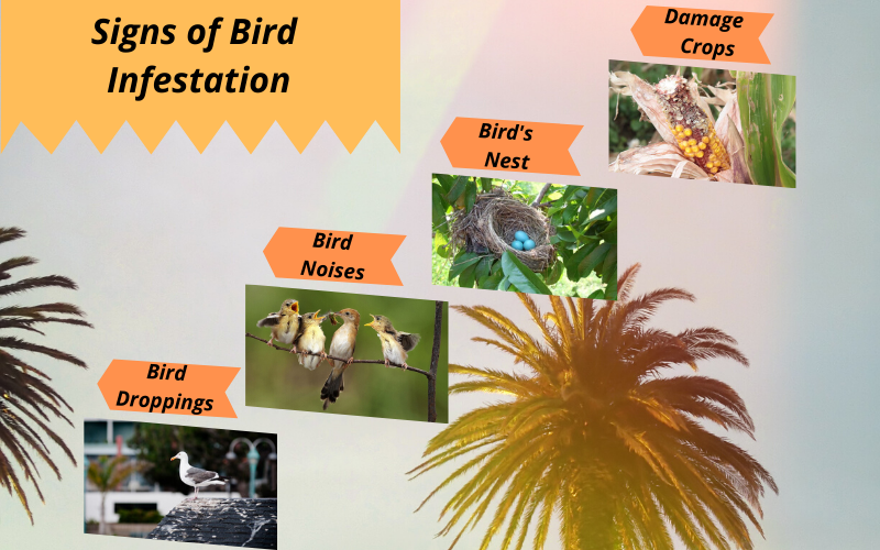 Signs of bird infestation