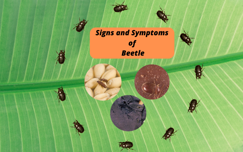 Signs and symptoms of beetle infestation