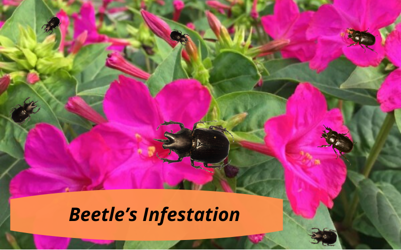 Beetle's infestation