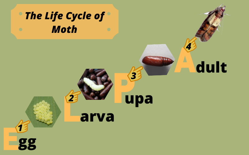 Life Cycle of Cloth Moth